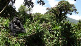 [Trotter 188] Menschenaffen in Ostafrika